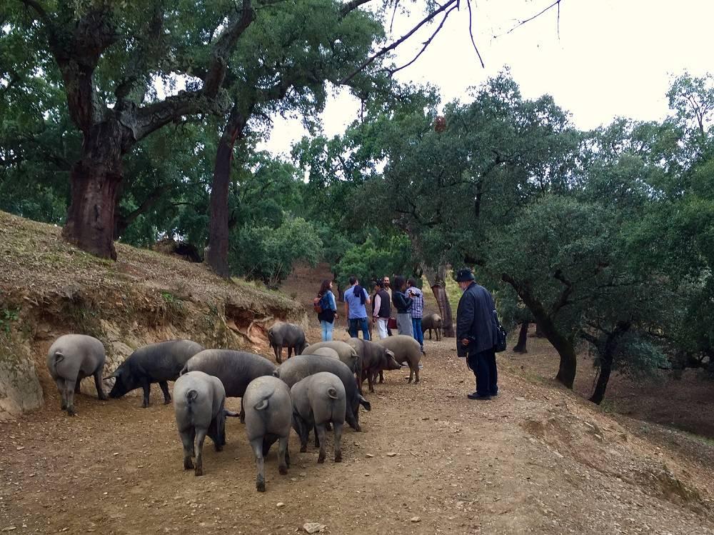 Camminando per la Sierra di Aracena - culla del Prosciutto di Jabugo